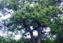 Lotta al cinipide per difendere le produzioni di castagne: un convegno del Gal a Santa Restituta